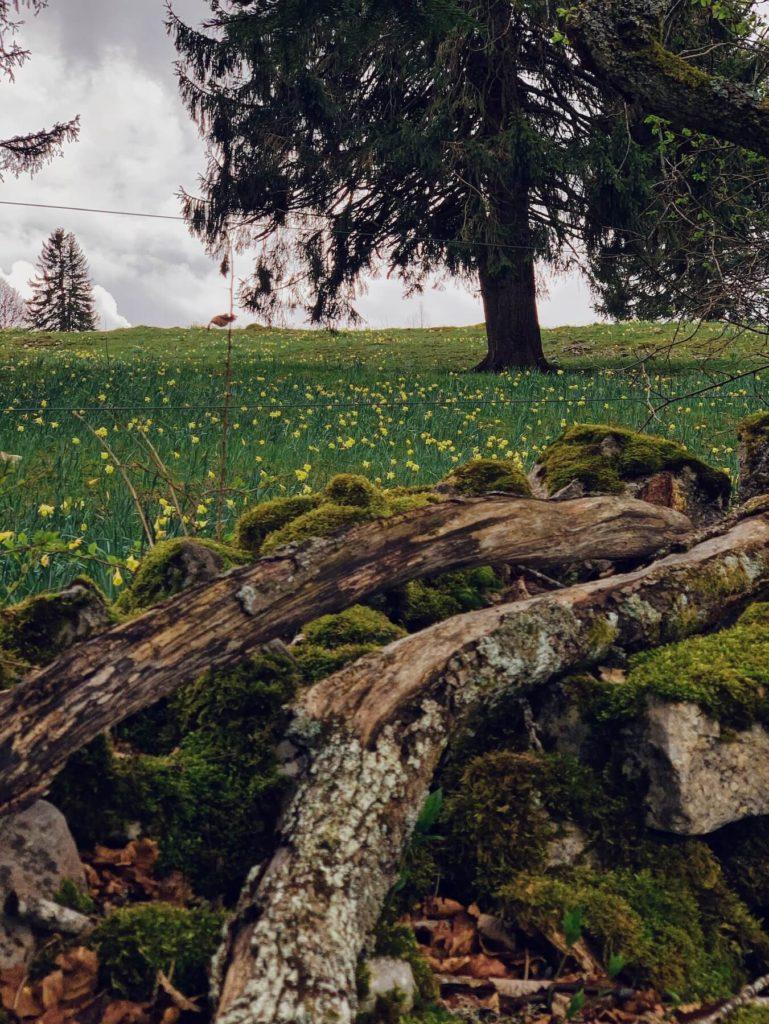 Matthias Maier | Daffodils fields