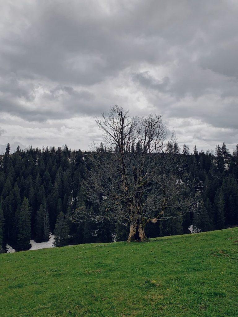 Matthias Maier   Jura tree