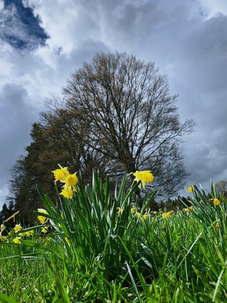 Matthias Maier | Wild daffodils