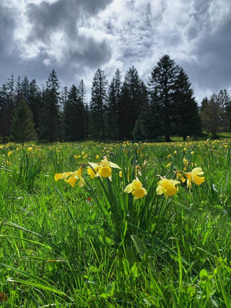 Matthias Maier | Daffodil fields