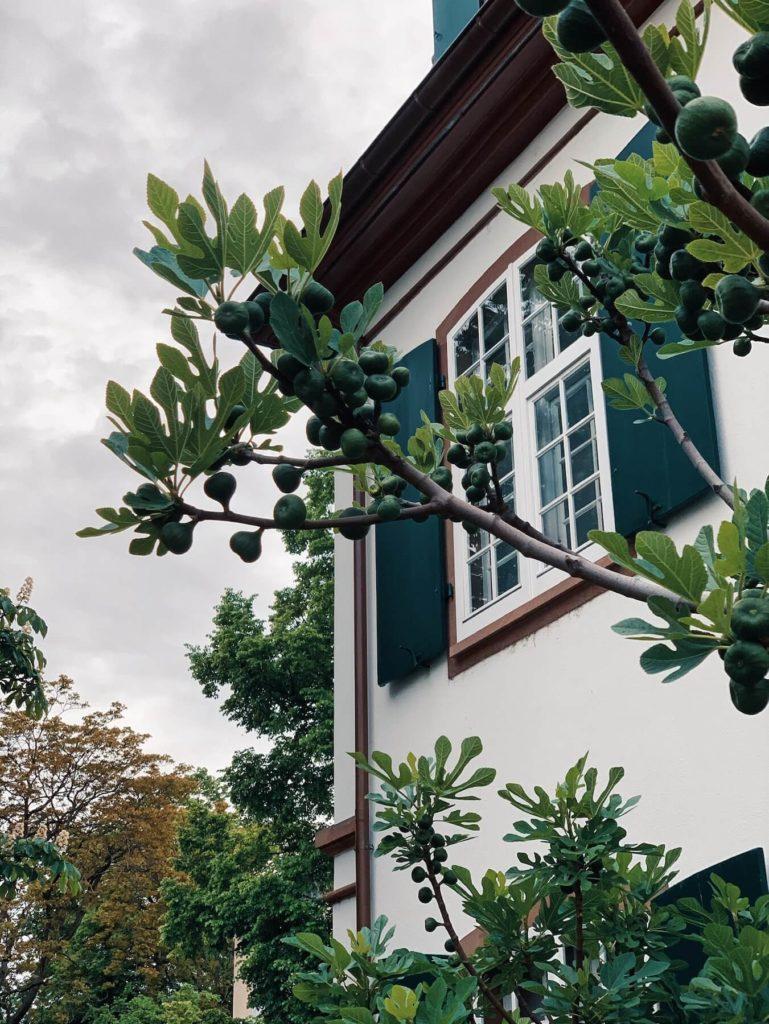 Matthias Maier | Growing figs