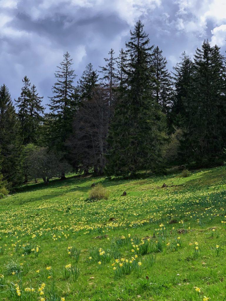 Matthias Maier   Daffodil fields