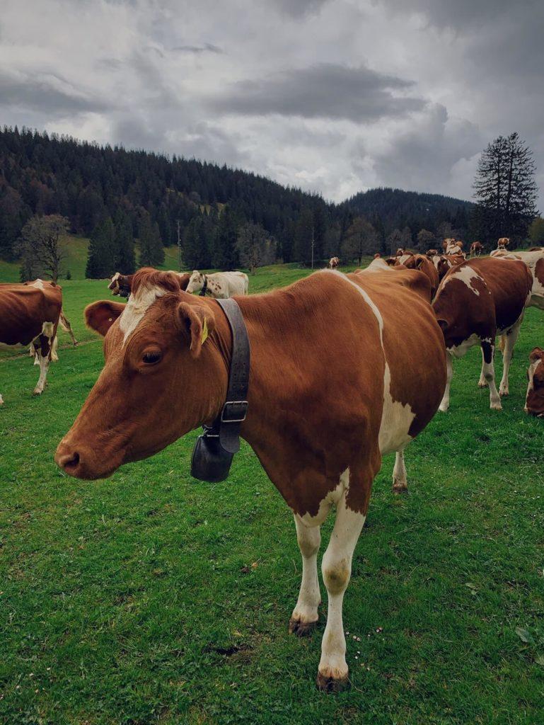 Matthias Maier   Jura Cows