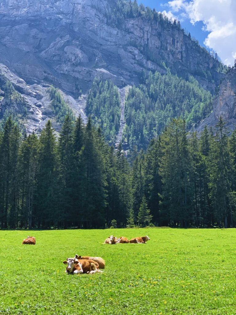 Matthias Maier | Lazy cows