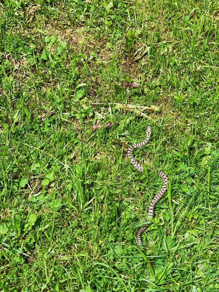 Matthias Maier   Common viper