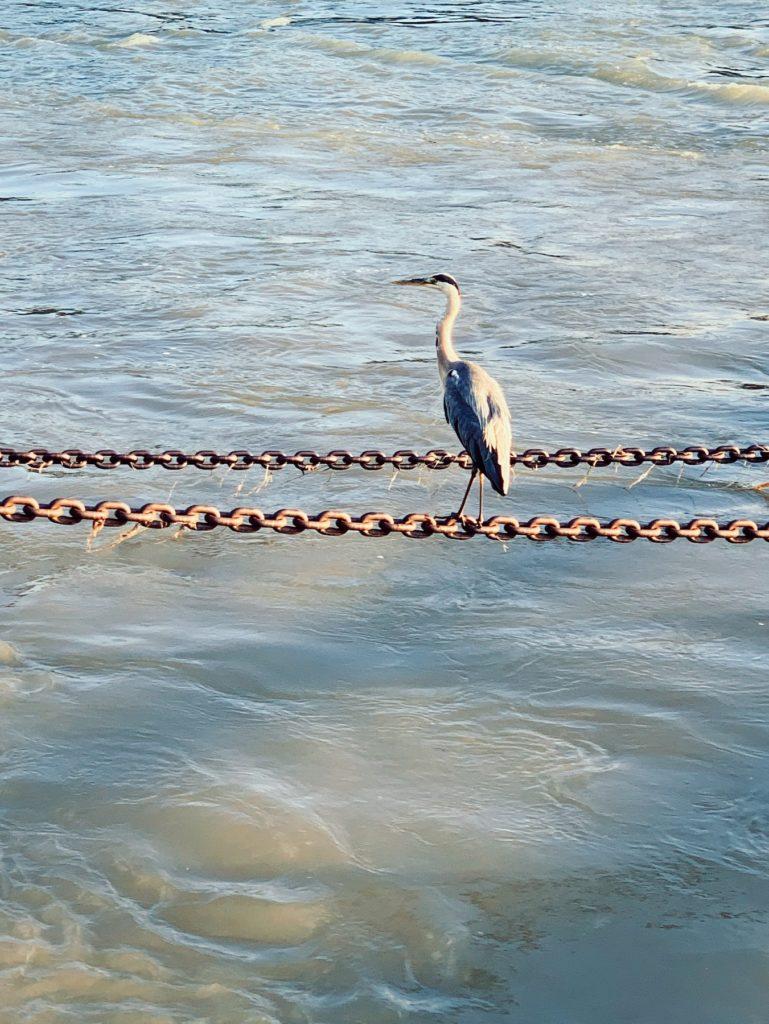 Matthias Maier | Grey heron