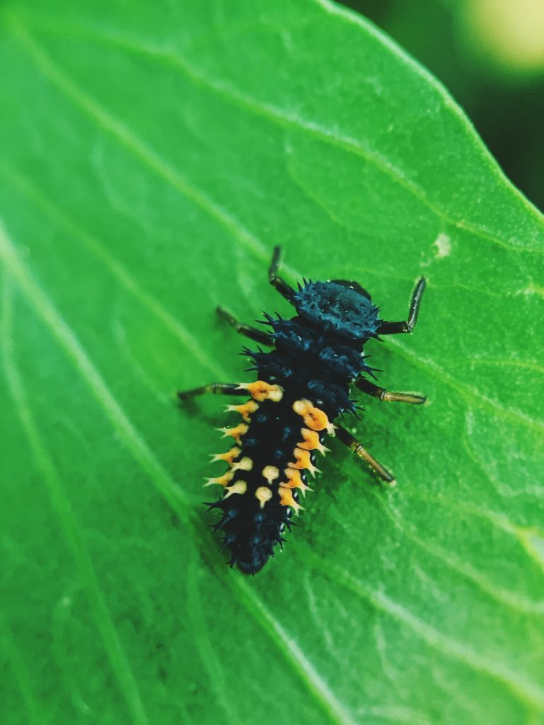 Matthias Maier | Ladybug larvae