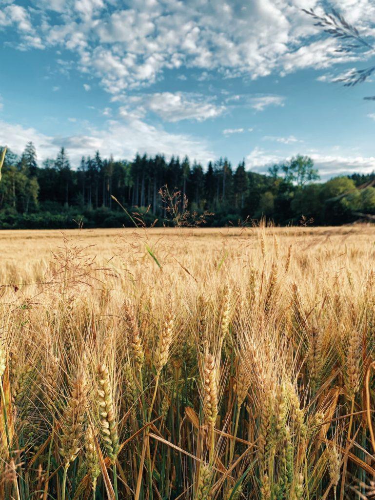 Matthias Maier | Wheat