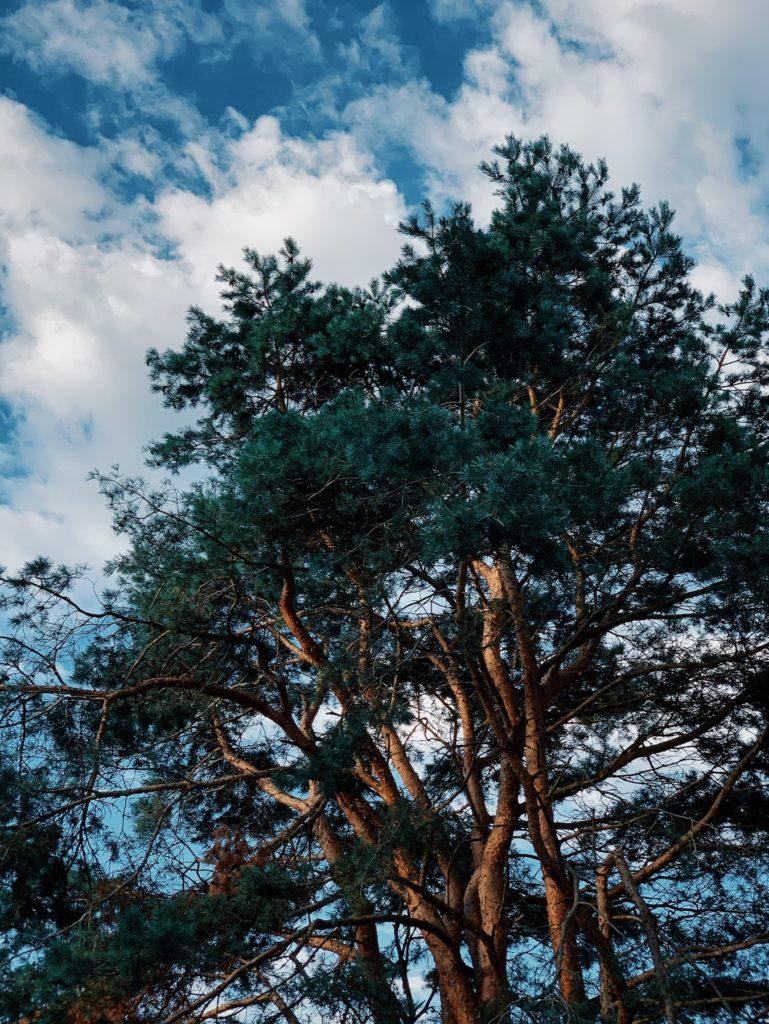 Matthias Maier   European red pine
