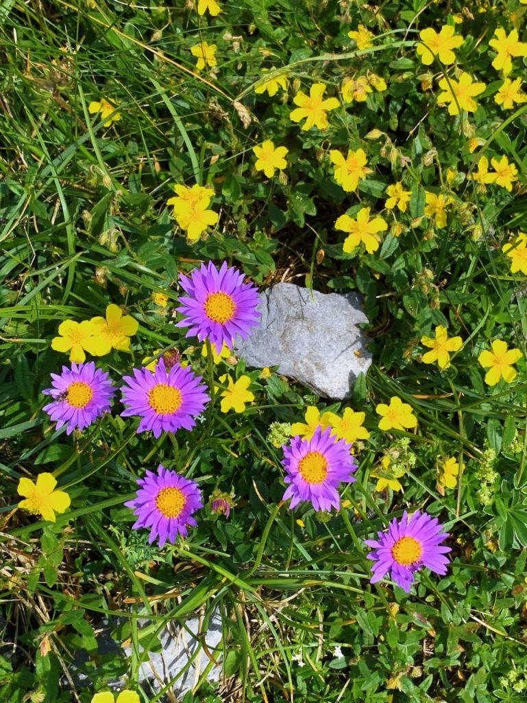 Matthias Maier   Blue alpine daisy