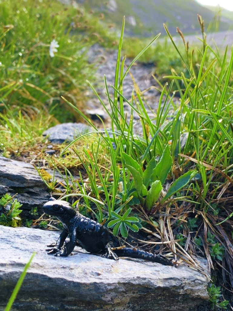Matthias Maier | Alpine salamander