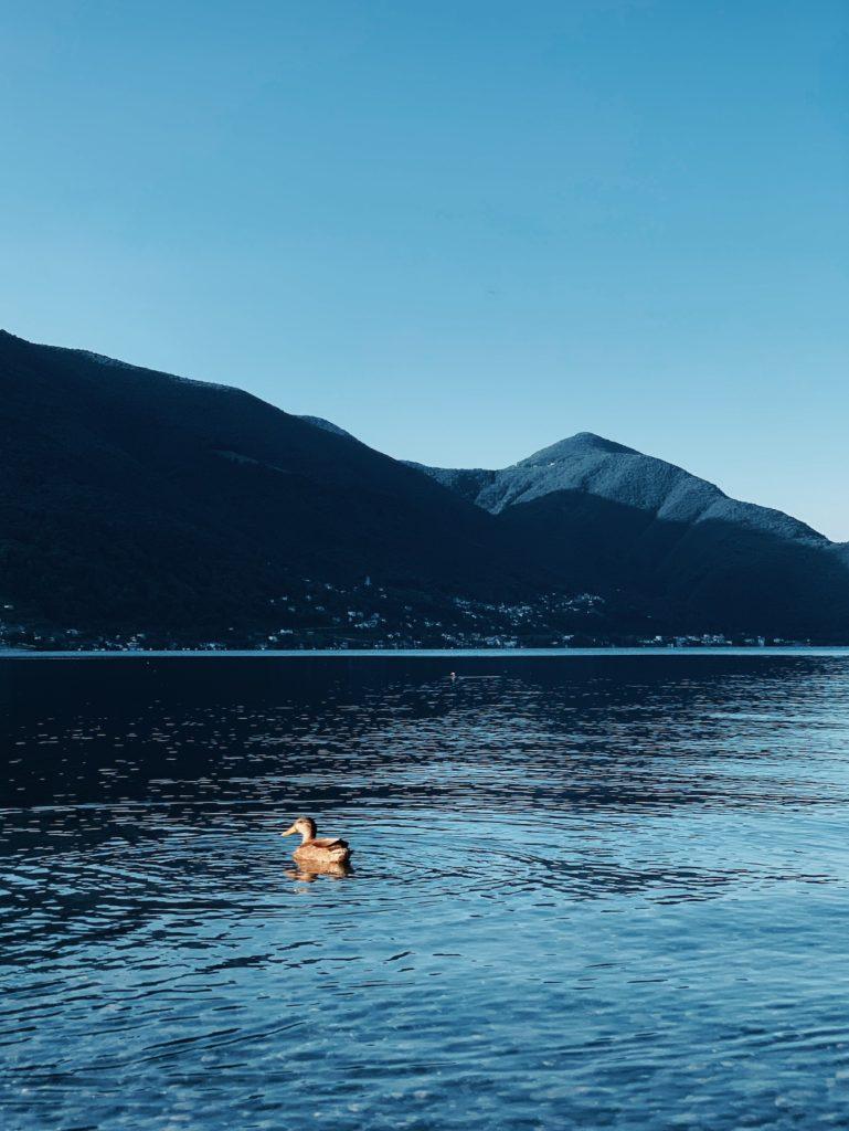 Matthias Maier   Morning Duck