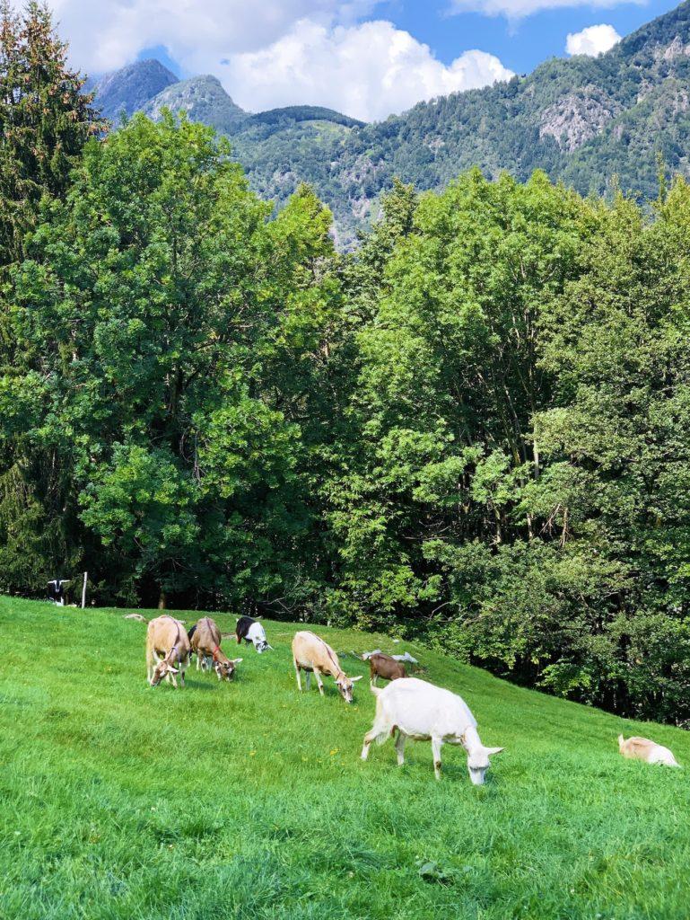 Matthias Maier   Goats