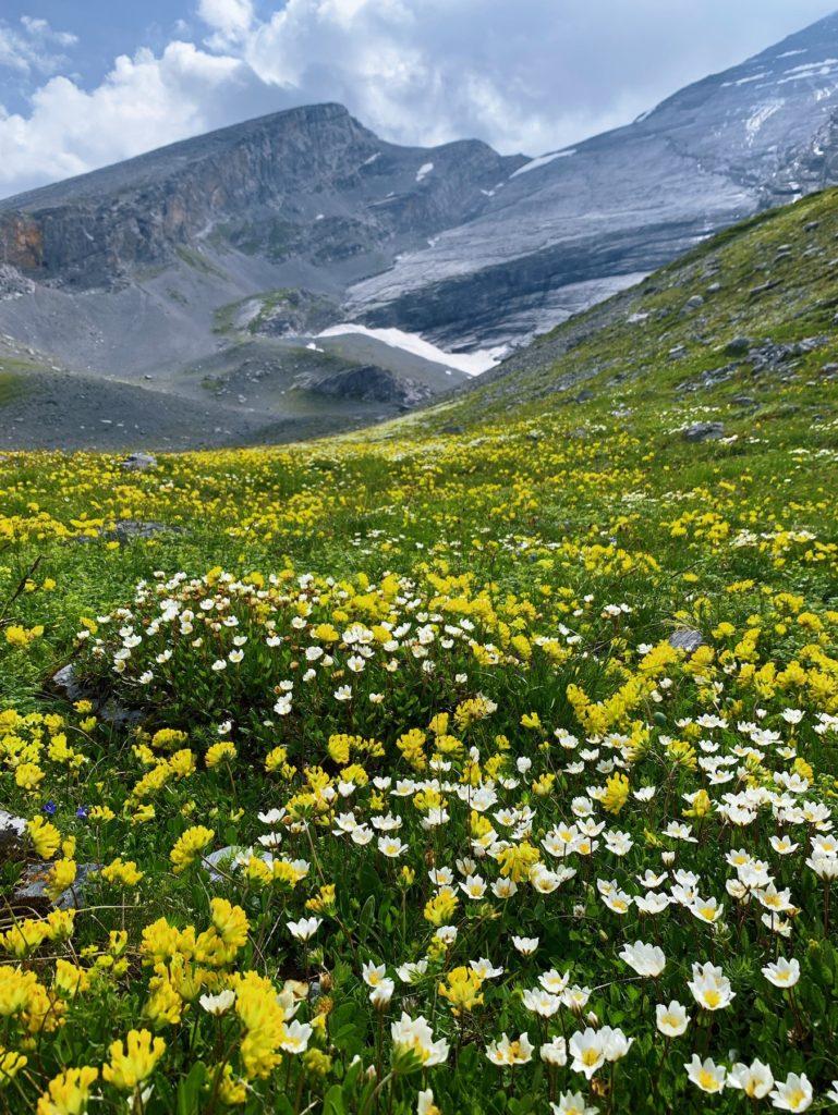 Matthias Maier | Alpine meadow of flowers