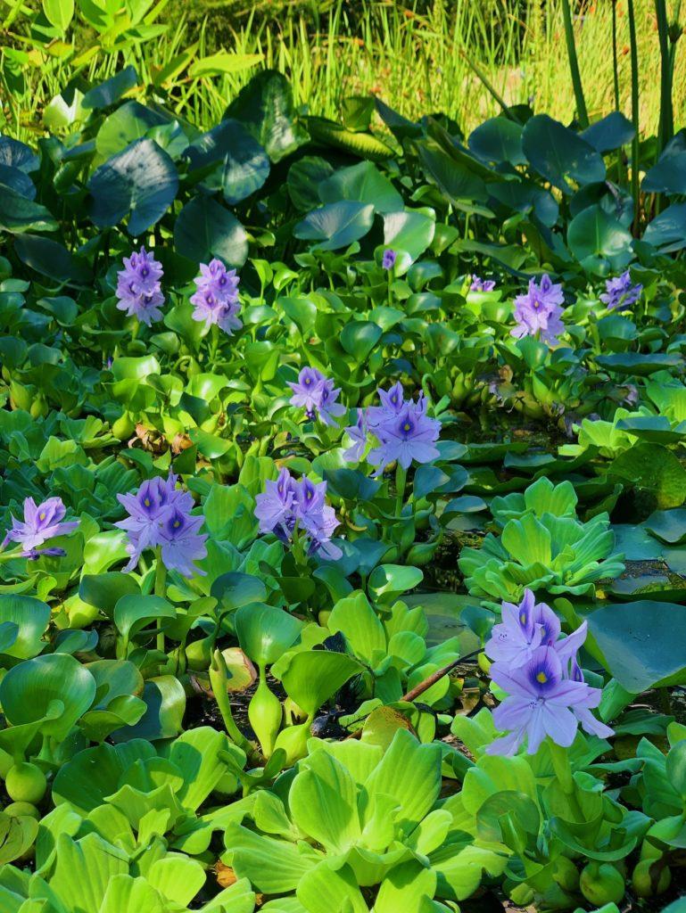 Matthias Maier   Water hyacinths